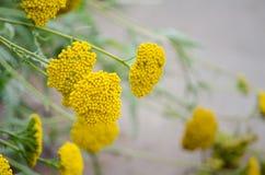 Mooie gele bos van Achillea-filipendulabloem in een lentetijd bij een botanische tuin, het beeld in selectieve nadruk Stock Foto