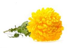 Mooie gele chrysant stock afbeeldingen