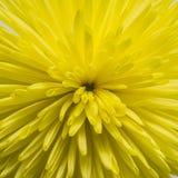 Mooie gele chrysant Stock Foto