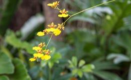 Mooie gele Dansende Dame Orchid in de tuin, Thailand stock afbeeldingen