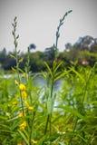 Mooie gele die bloem van Crotalaria-juncea, als bruine hennep wordt bekend, hennep, de hennep van Madras, of sunn hennep Crotalar stock afbeeldingen
