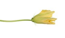 Mooie gele die bloem van pompoen, op witte achtergrond wordt geïsoleerd Stock Afbeelding