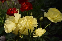 Mooie gele en rode bloemen Royalty-vrije Stock Foto