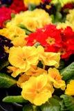 Mooie Gele en Rode Bloemen in Potten Stock Foto's