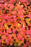 Mooie gele en rode de herfstbladeren van sumac Latijnse naam - Cotinus-coggygria stock foto