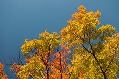 Mooie Gele en Rode Esdoornbladeren met Blauwe Hemel stock fotografie