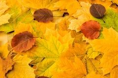 Mooie gele esdoornbladeren op het gras stock afbeeldingen