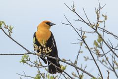 Mooie gele geleide die merel in een boom wordt neergestreken Royalty-vrije Stock Foto's
