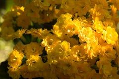 Mooie gele kalanchoe Stock Afbeelding