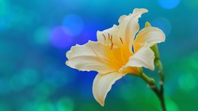 Mooie gele lelie op bokehachtergrond Royalty-vrije Stock Foto's