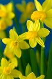Mooie Gele narcissen Royalty-vrije Stock Afbeeldingen