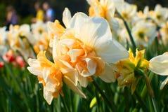 Mooie gele narcissen stock afbeelding