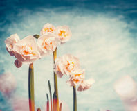 Mooie gele narcissen op de achtergrond van de bokehhemel, de lenteaard stock foto's