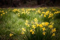 Mooie gele narcissen op een natuurlijke achtergrond Royalty-vrije Stock Afbeeldingen