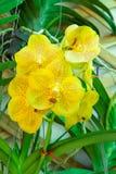 Mooie gele orchidee in de tuin Stock Afbeeldingen