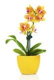 Mooie gele orchidee in pot stock foto