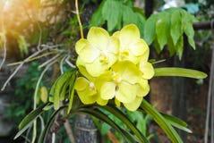 Mooie gele orchideebloem in de tuin Royalty-vrije Stock Afbeelding