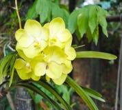 Mooie gele orchideebloem in de tuin Stock Fotografie