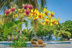 Mooie gele orchideebloemen in tropische tuin bij kust op de Maldiven Stock Afbeeldingen