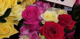Mooie gele rood en roze rozen stock afbeeldingen