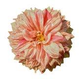 Mooie gele roze dahlia Royalty-vrije Stock Afbeelding