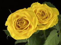 Mooie gele rozen Stock Foto