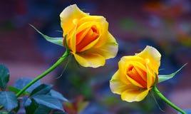 Mooie gele rozen stock foto's