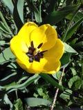 Mooie gele tulp stock afbeeldingen