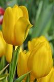 Mooie gele tulp Stock Afbeelding