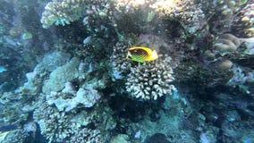 Mooie gele vissen swimms dichtbij het koraalrif, die in Rode Overzees snorkelen stock video