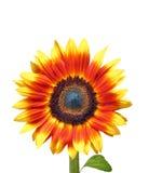 Mooie Gele Zonnebloem Stock Afbeeldingen