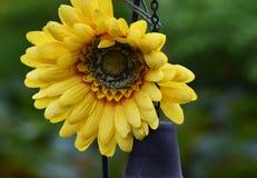 Mooie gele zonnebloem in aard royalty-vrije stock foto's