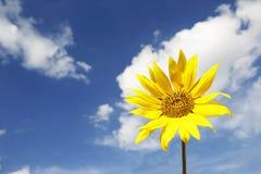 Mooie gele zonnebloem in een blauwe hemel Stock Afbeeldingen