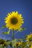 Mooie gele zonnebloem over blauwe hemel Stock Afbeeldingen
