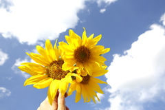 Mooie gele zonnebloemen in een blauwe hemel Stock Afbeeldingen