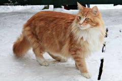 Mooie gemberkat op sneeuwachtergrond Royalty-vrije Stock Afbeelding