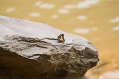 Mooie gemeenschappelijke tijgervlinder Stock Fotografie