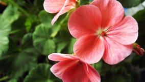 Mooie geranium met roze bloemen stock fotografie