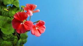 Mooie geranium met roze bloemen stock afbeeldingen