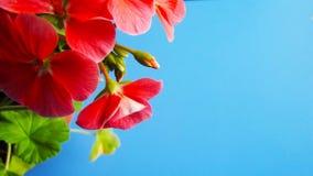 Mooie geranium met roze bloemen royalty-vrije stock afbeelding