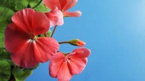 Mooie geranium met roze bloemen royalty-vrije stock fotografie