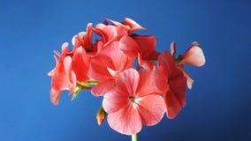 Mooie geranium met roze bloemen stock afbeelding