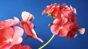 Mooie geranium met roze bloemen royalty-vrije stock foto's