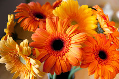 Mooie gerberas gele en oranje kleur Royalty-vrije Stock Foto's