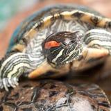 Mooie gestreepte schildpad royalty-vrije stock afbeelding