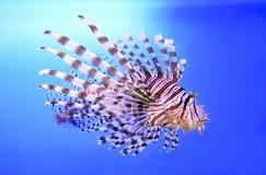 Mooie gestreepte vissen of gestreepte lionfish in het aquarium Stock Afbeelding