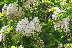 Mooie geurige bloemen bloeiende witte acacia Stock Foto