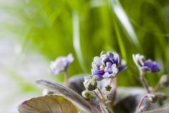 Mooie gevoelige bloeiende potten Afrikaanse bloem Saintpaulia royalty-vrije stock afbeeldingen