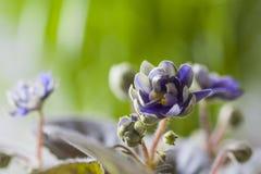 Mooie gevoelige bloeiende potten Afrikaanse bloem Saintpaulia royalty-vrije stock fotografie