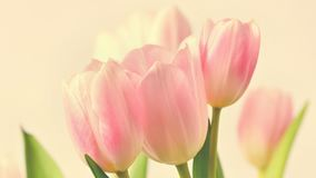 Mooie gevoelige de lentebloemen - roze tulpen Pastelkleuren en op een zuivere achtergrond Close-up van bloemen met dalingen o royalty-vrije stock afbeelding